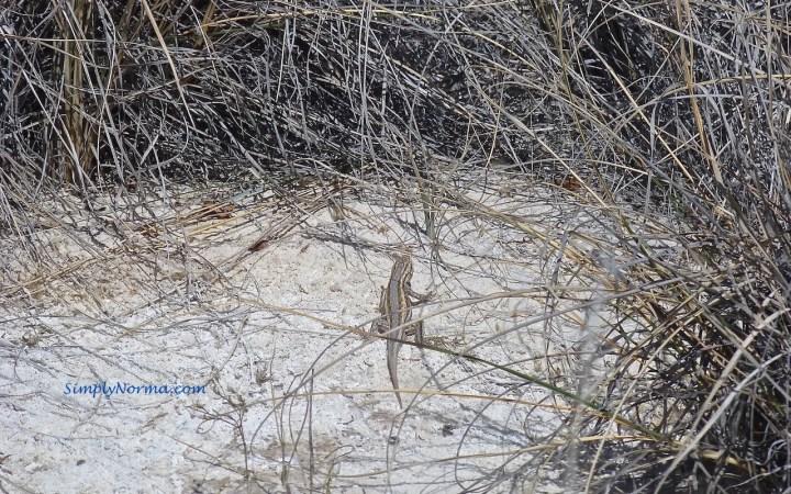 Lizard, White Sands National Park, New Mexico