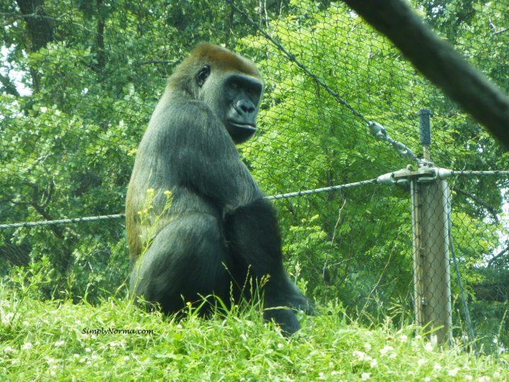 Gorilla, Como Park Zoo