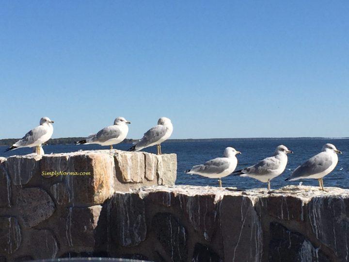 Seagulls, Minnesota