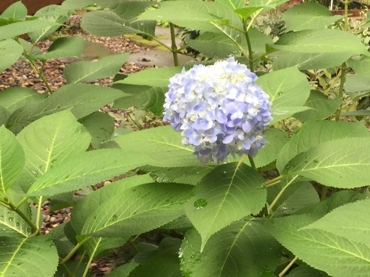 Early Hydrangea Blossom