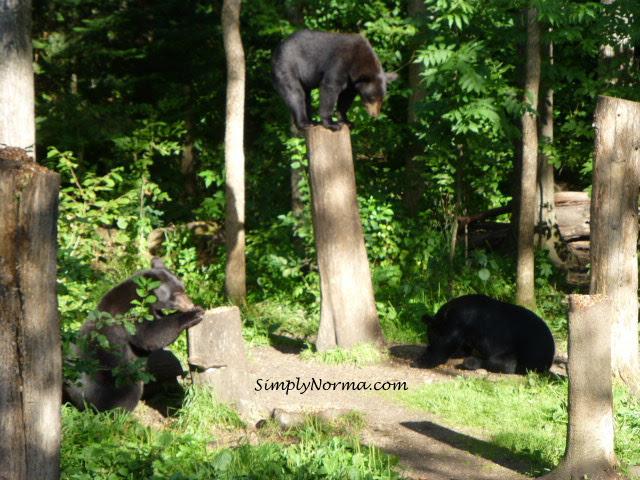 Bears, Vince Shute Wildlife Sanctuary