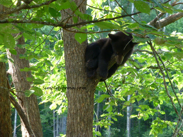 Bear Cub in Tree, Vince Shute Wildlife Sanctuary