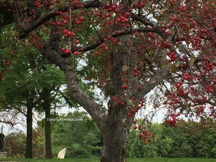 Crabapple Tree, Minnesota