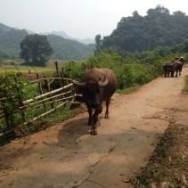 www.singapbyart.com-maichau-village-cow.jpg