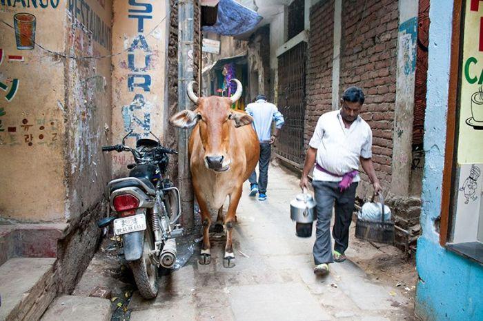 Vaca y lechero, codo a codo, en una de las cientos de estrechas callejuelas que componen la sagrada ciudad de Varanasi
