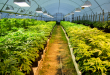 Primera cosecha de marihuana legal en Uruguay