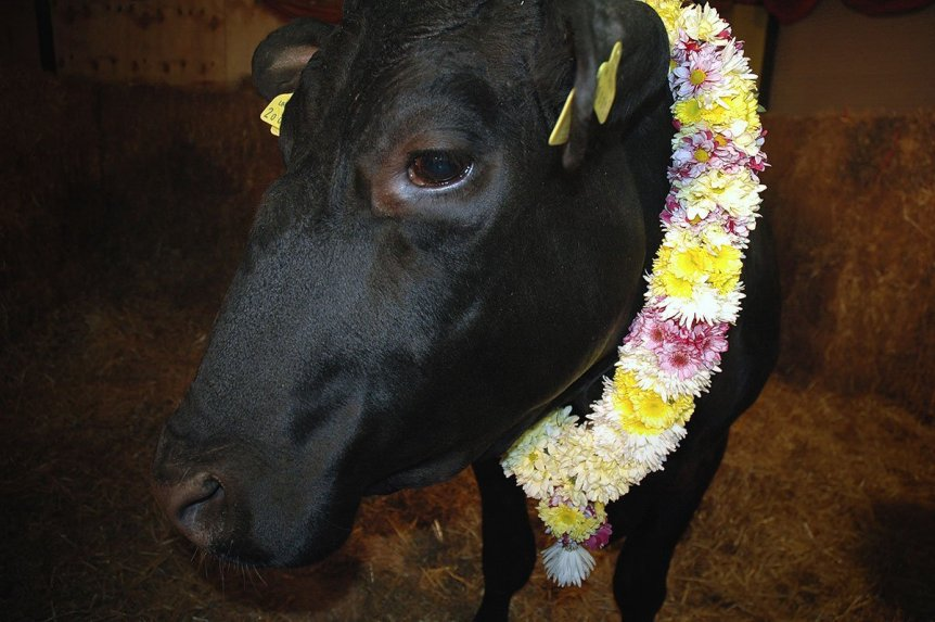 A close up picture of Shambo wearing a garland of flowers. Shambo was the sacred temple bull who was the focus of an intense debate about the sanctity of life