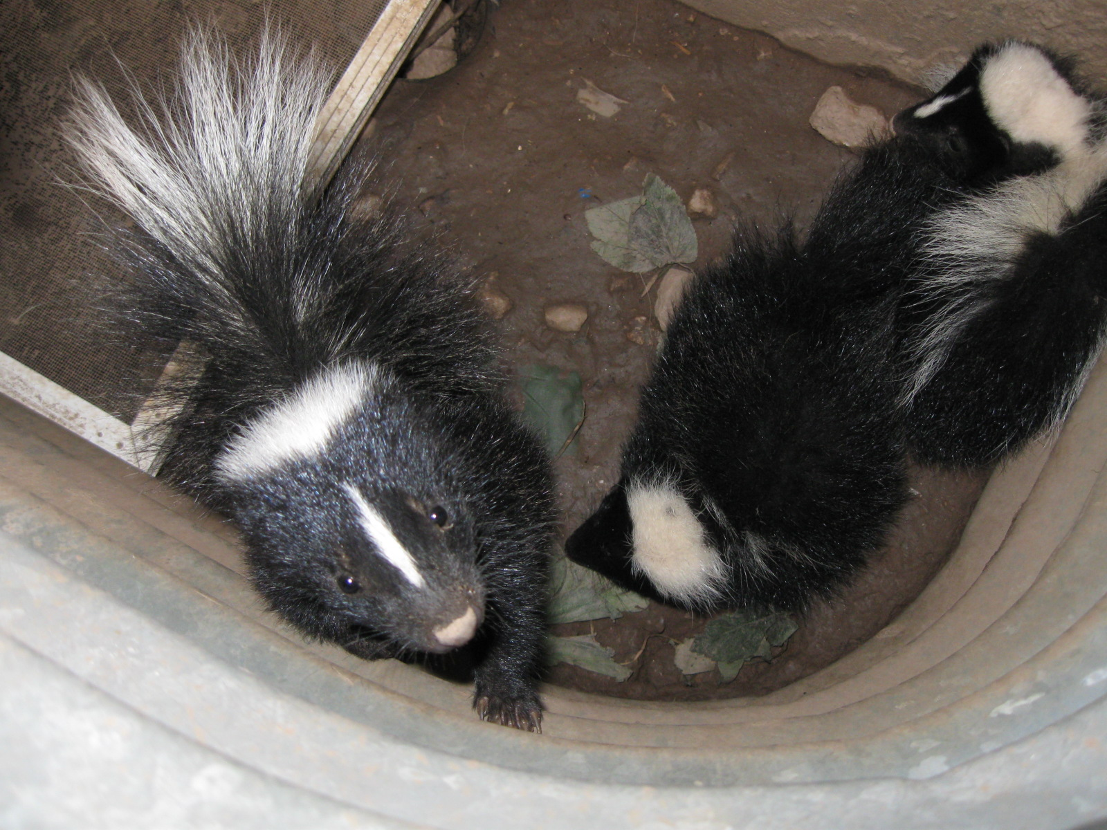 Flossy Skunks Why Skunks Are Attracted To Your Home Skedaddle Can Skunks Climb A Wall Can Skunks Climb A Wooden Fence houzz 01 Can Skunks Climb
