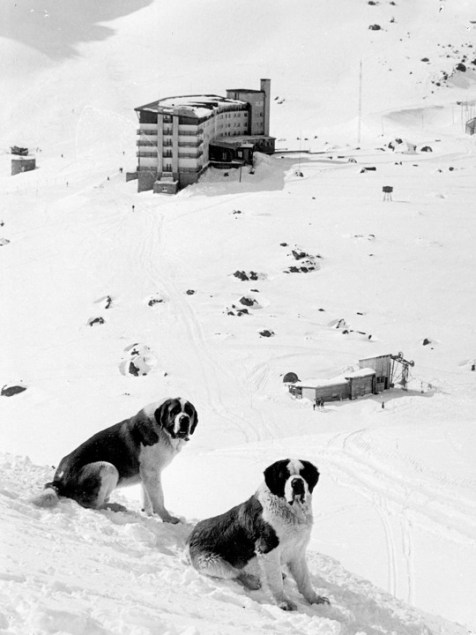 Portillo St. Bernards
