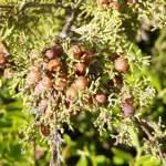 juniper berry oil benefits