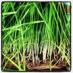 lemongrass oil for acne