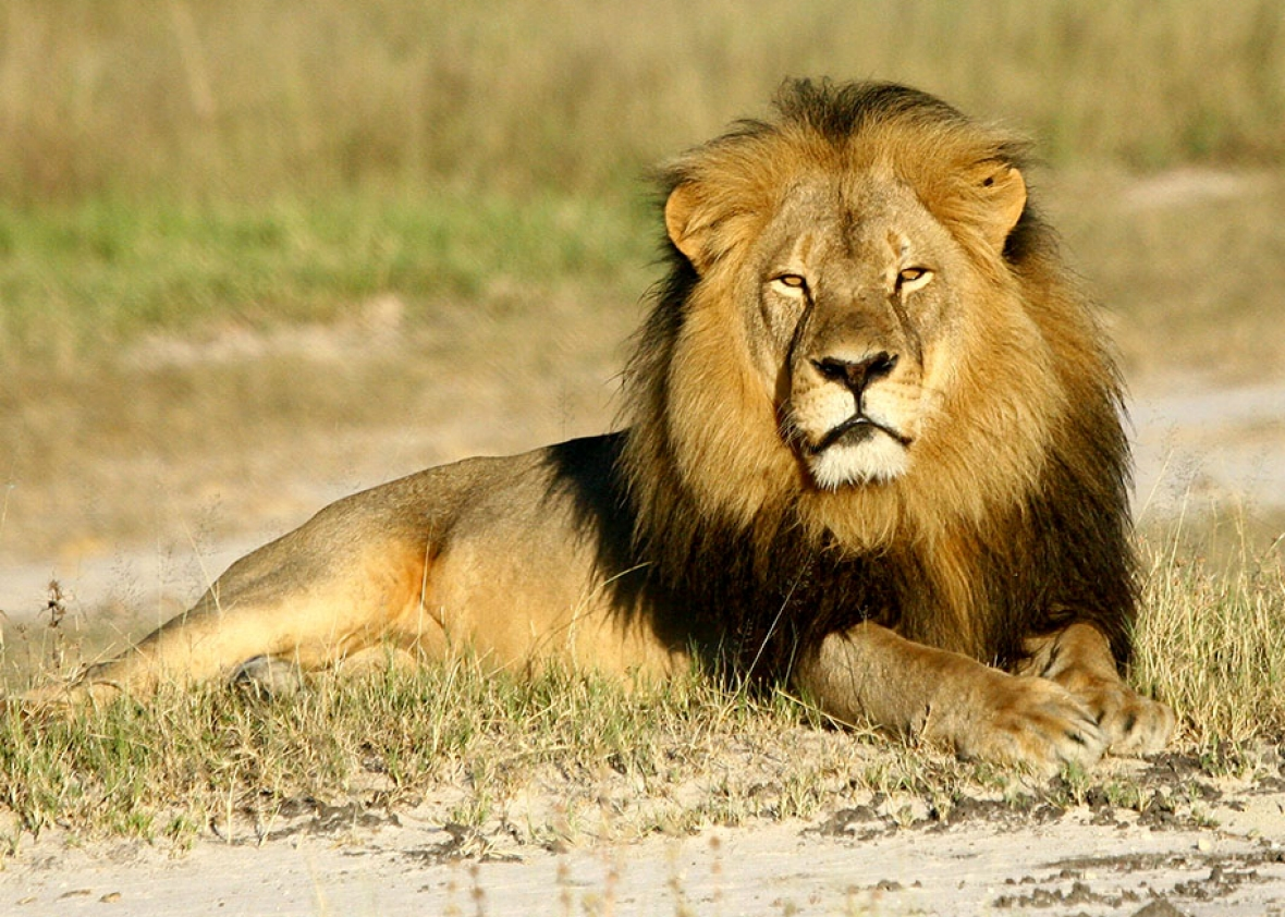 Cecil the lion research  Scientists studied the lion for years  VIDEO   Cecil the lion
