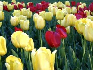stock-tulips