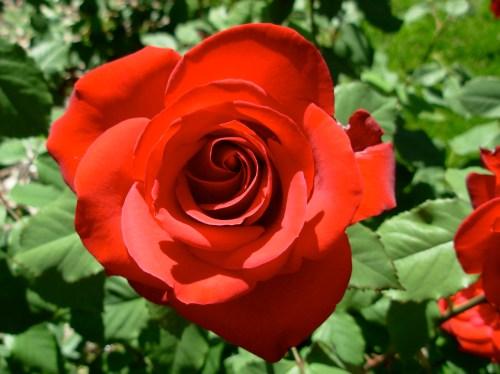 rosered