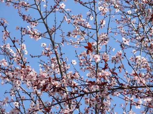 cherrytree1