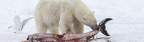 Cambio climático obliga al oso polar a alimentarse de delfines
