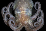 antarctic_octopus