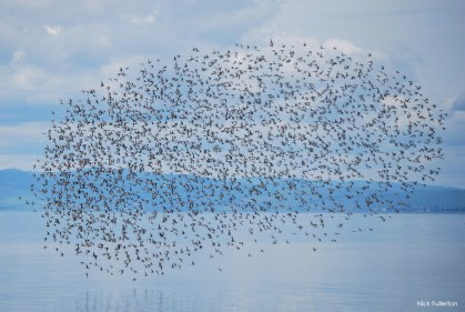 lots of willets