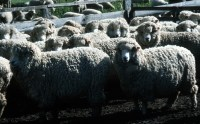 CSIRO_ScienceImage_214_Merino_Flock