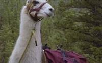 llama-trekking-llama