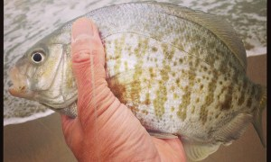 Surf Fishing 102 – Barred Surf Perch