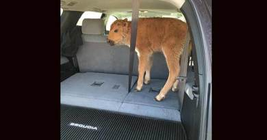 Yellowstone tourists put bison calf in car because they're worried it's cold