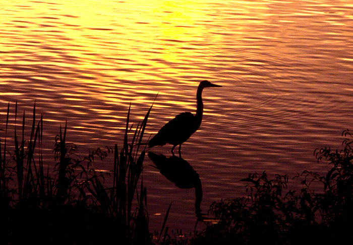 Somerset Lake is a great place to observe and photograph wildlife! This is a Great Blue Heron at sunrise