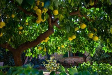 grapefruit trees hotel son grec