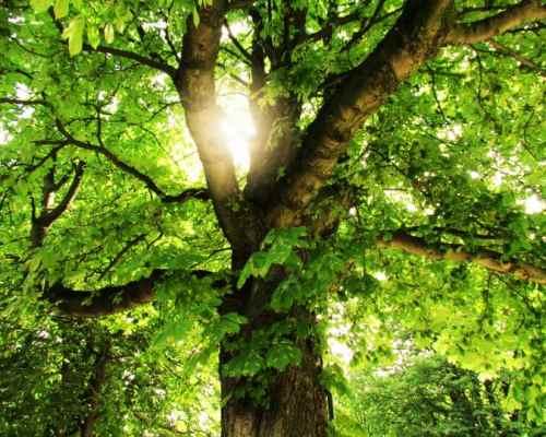 Brussels-Tree