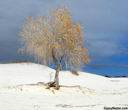 white-sands-tree