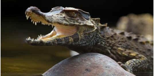 do-crocodiles-lay-eggs