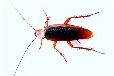 how-long-do-cockroaches-live