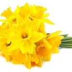 Are Daffodils Perennials?