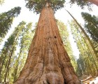 General_Sherman_tree_looking_up_