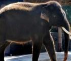 Koshik_elefante