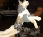 gato brasil