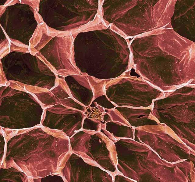 microscopio_tomate_
