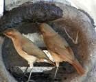 Un video muestra la forma en la que dos pajaritos hacen su nido de amor
