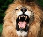 Pareja es atacada por un león mientras tenían sexo