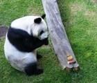 Murió Xiu Hua, panda gigante del zoológico de Chapultepec