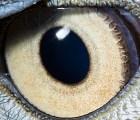 ¿Puedes adivinar a qué animal pertenecen estos ojos?