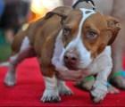 """¡Ya tenemos ganador! Éste es el """"Perro más feo del mundo"""" del 2013"""