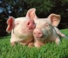 """Tiendas en Bélgica servirán sólo carne de """"cerdos felices"""""""