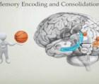 Así se guardan los recuerdos en el cerebro