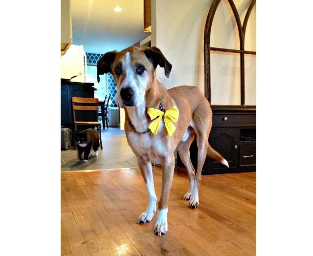 Perros amarillos03