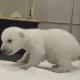 Awwww Ternuringaaaaa, ¡¡¡los primeros pasitos de un osito polar baby!!!!