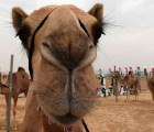 Galería: La tradicional carrera de camellos de Emiratos Árabes