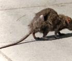 """No quieres saber lo que es un """"Rey Rata"""""""