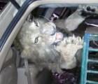 Detienen a hombre en Azcapotzalco con animales exóticos, los quería disecar