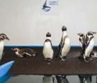 Mañana abre sus puertas el primer pingüinario de México